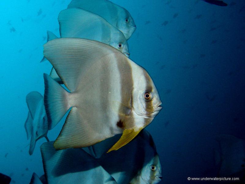Fledermausfisch - Batfish