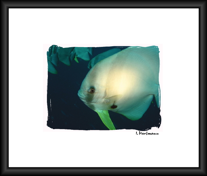 Fledermausfisch - Plantax teira