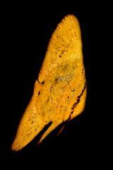 Fledrmausfisch