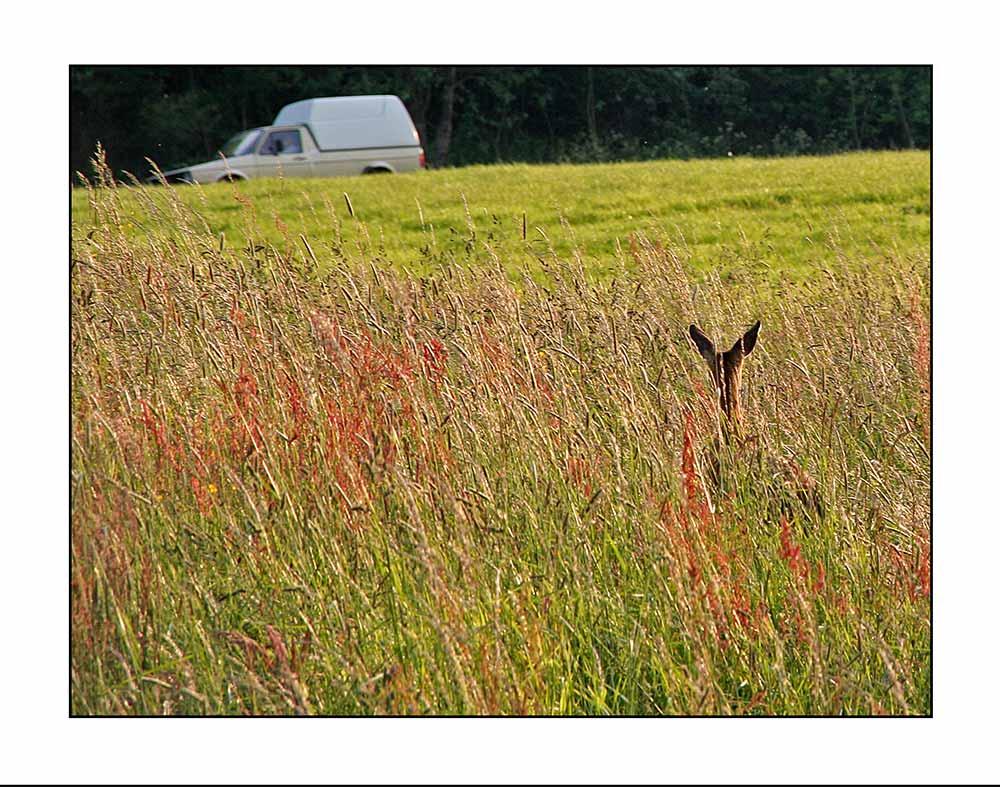 Fleischermeister Wolf spähte aufmerksam, doch Bambi versteckte sich geschickt im hohen Gras.