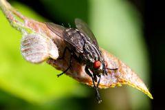 Fleischfliege (Sarcophagidae)