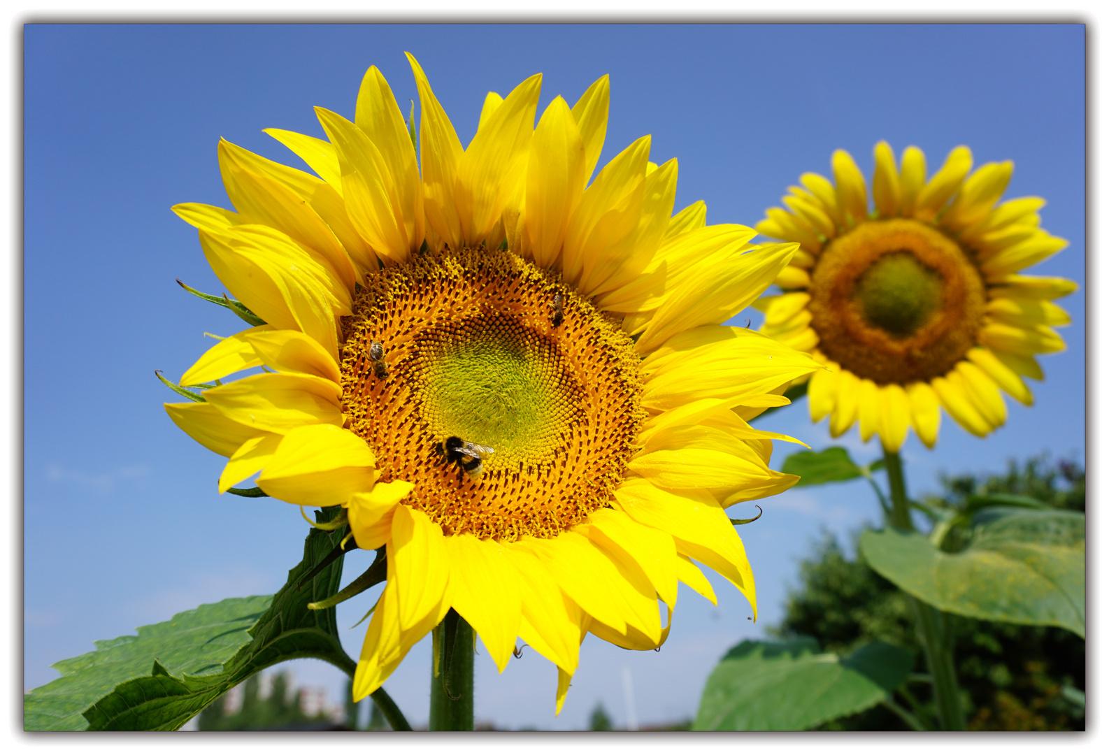 Fleisige Arbeiter In Der Sonnenblume Foto Bild Tiere