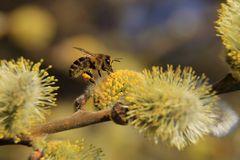 Fleißiege Biene