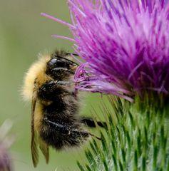 Fleissig wie die Biene