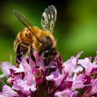 Fleißige Biene #1