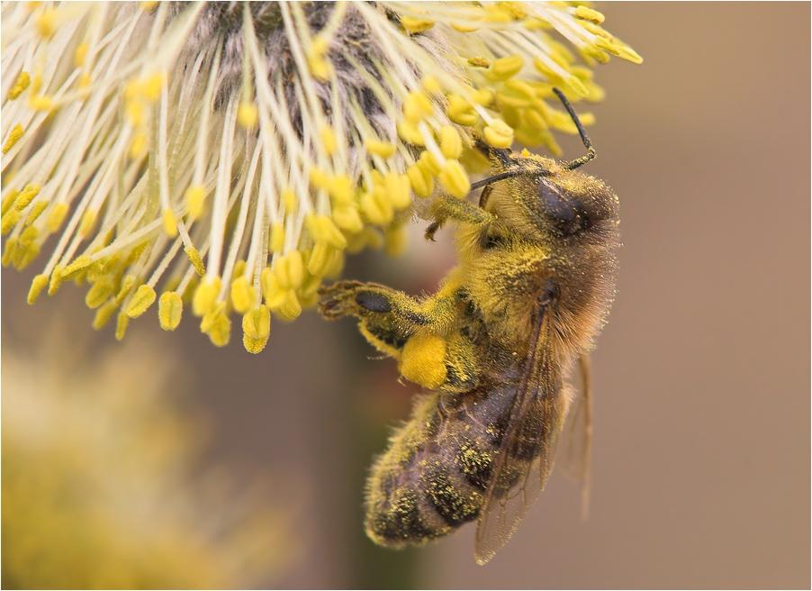 Fleißige Biene ...