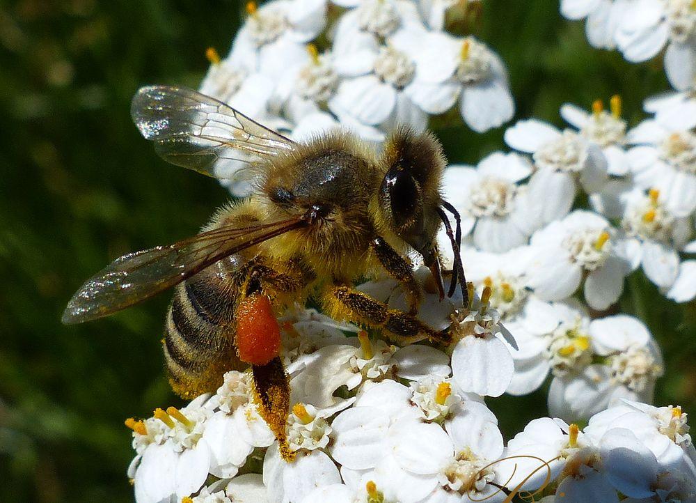 fleissige biene foto  bild  tiere bienenatur sommer