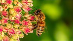 fleißige Biene auf Nektarsuche