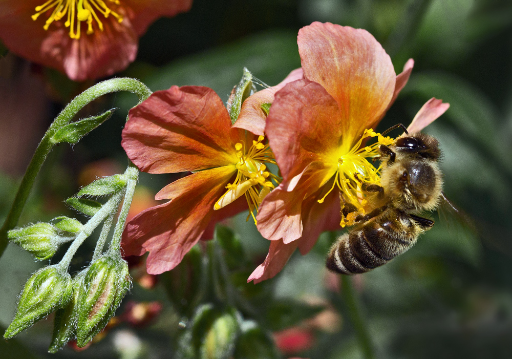 Fleißige Biene bei ihrer unermüdlichen Arbeit!