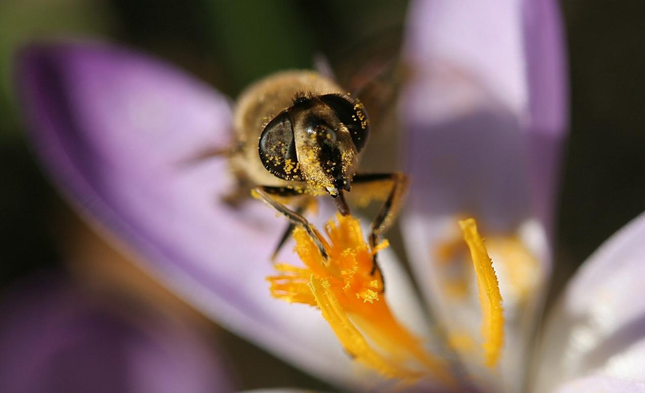 Fleissige Biene im Februar 2007