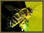 Fleißige Biene im Pollenrausch