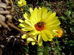 fleißige Biene im Sommer 2005