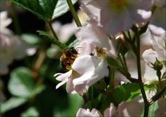 Fleißige Biene IV