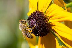 Fleißige Biene (Macro ohne Makroobjektiv Bild II)
