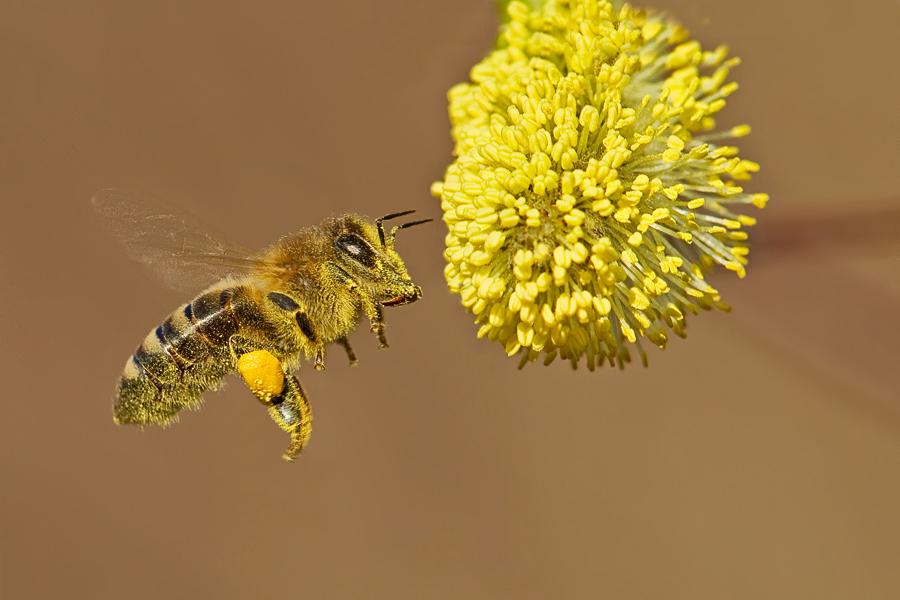 Fleißige Bienen .....