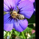 Fleißige Herbstbiene