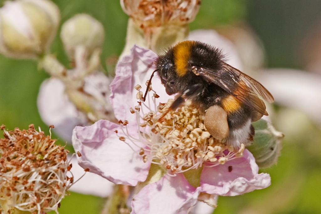 Fleissige Pollensammlerin