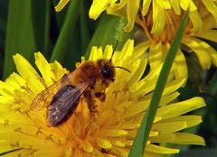Fleißige Pollensammlerin