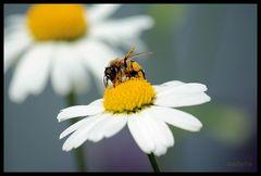 Fleißiges Bienchen ...