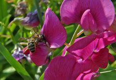 Fleißiges Bienchen auf Nektarsuche.