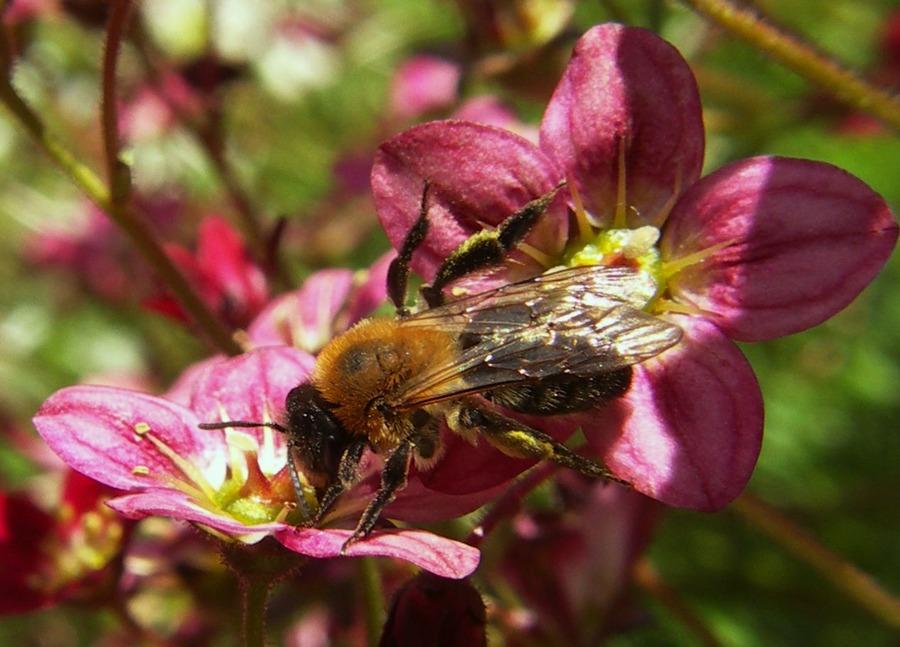 Fleissiges Bienchen