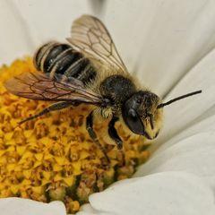 fleißiges Bienchen...