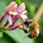 Fleissiges Bienchen bei der Arbeit