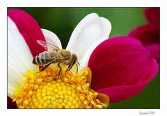 Fleißiges Bienchen.....