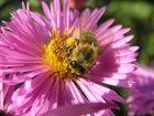 fleissiges Herbst-Bienchen