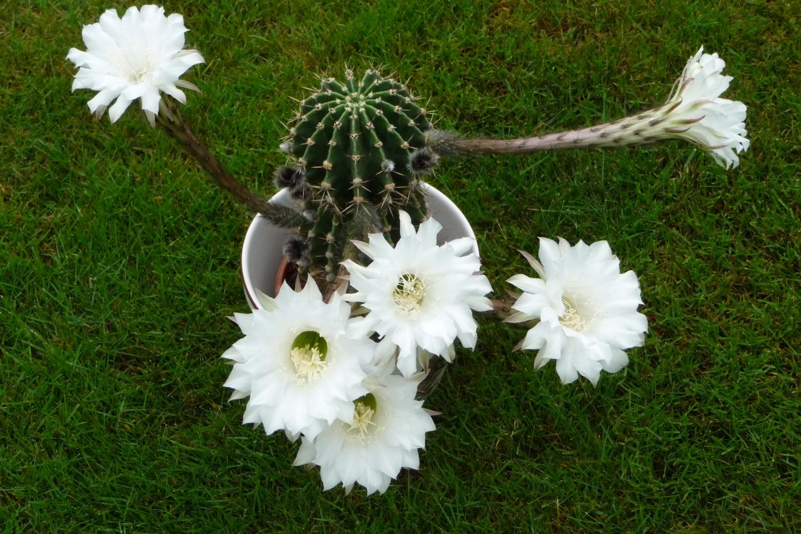 flei iges lieschen mit stacheln foto bild pflanzen pilze flechten natur bilder auf. Black Bedroom Furniture Sets. Home Design Ideas