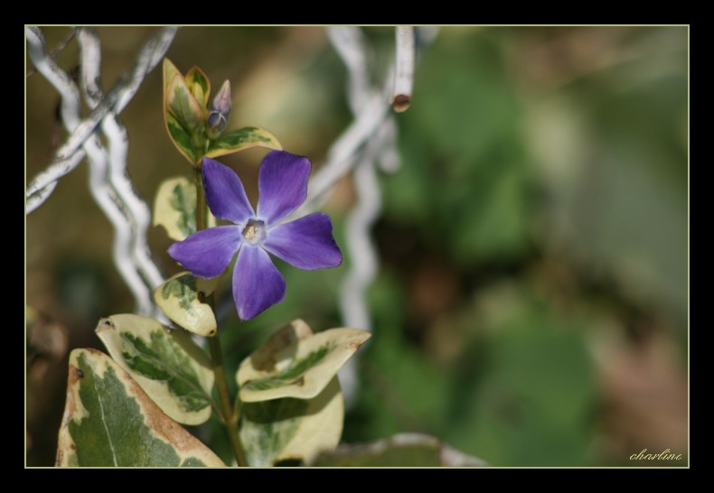 fleur bleue par charline 8 ans