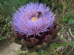 ..Fleur d'artichaud...