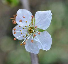 fleur d'aubépine
