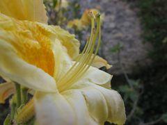 ..Fleur d'Azalé..