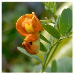 Fleur de Baguenaudier