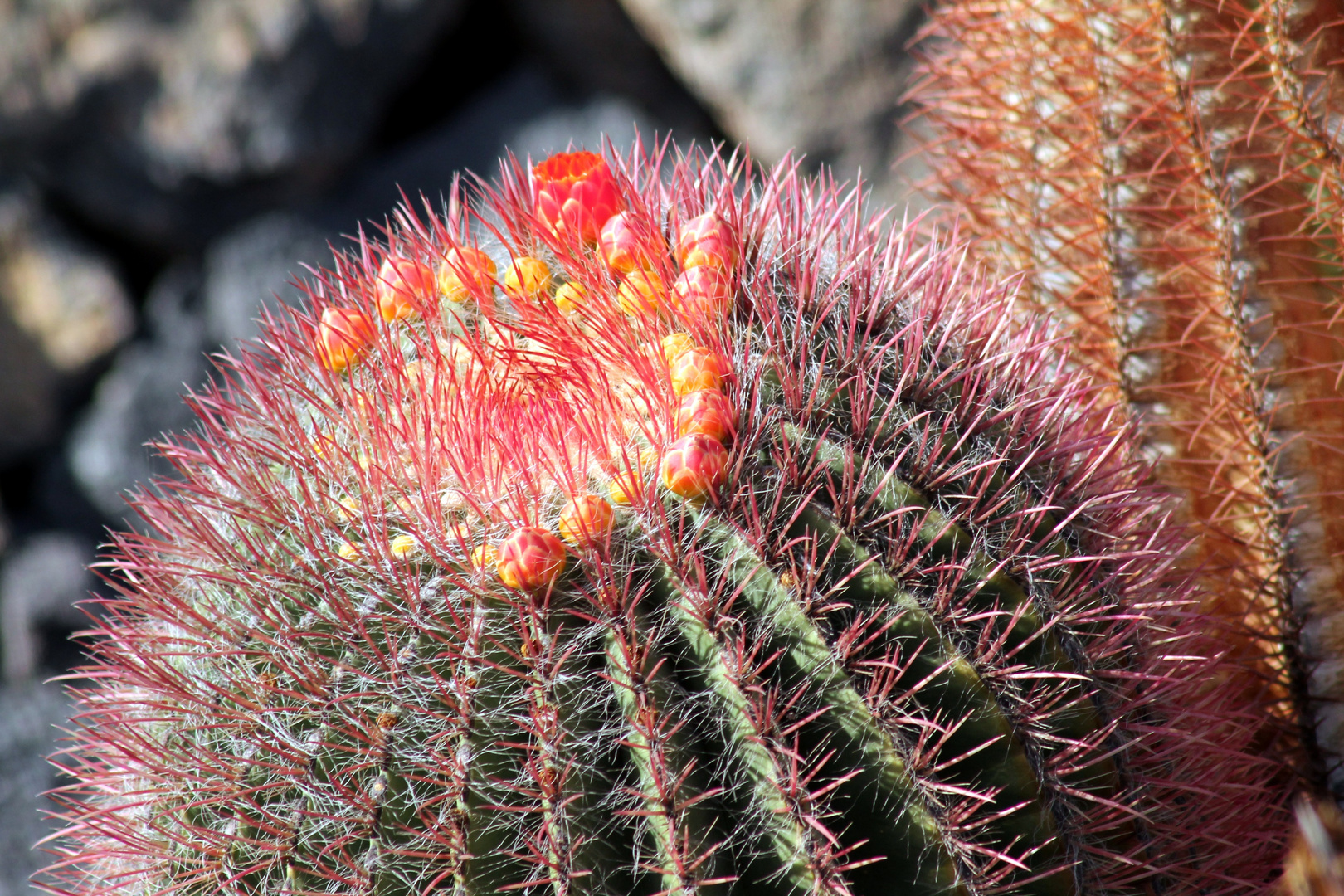 fleur de cactus, ma petite soeur ....