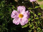 Fleur de Corse