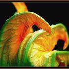 Fleur de courgette