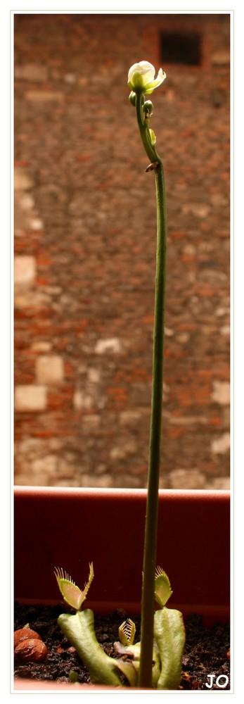 Fleur de Dionée