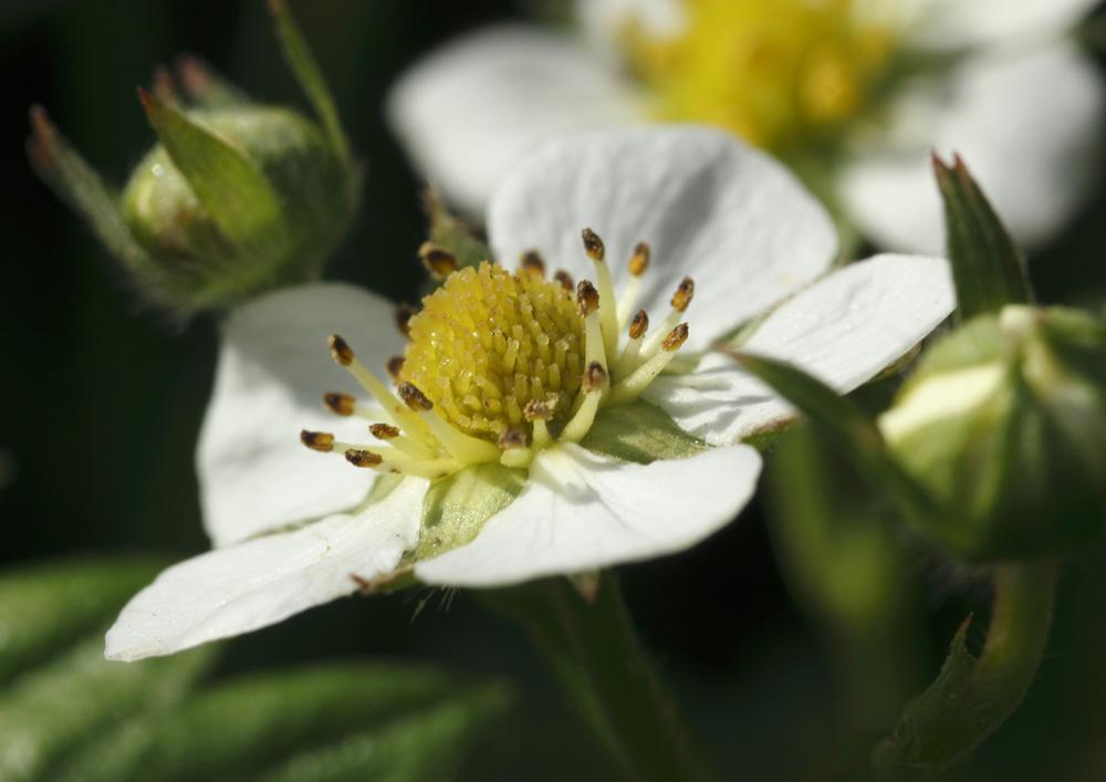 Fleur De Fraisier Sauvage Photo Et Image Fleurs Divers