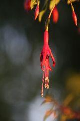 ..Fleur de fushia..