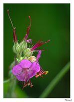 Fleur de géranium vivace