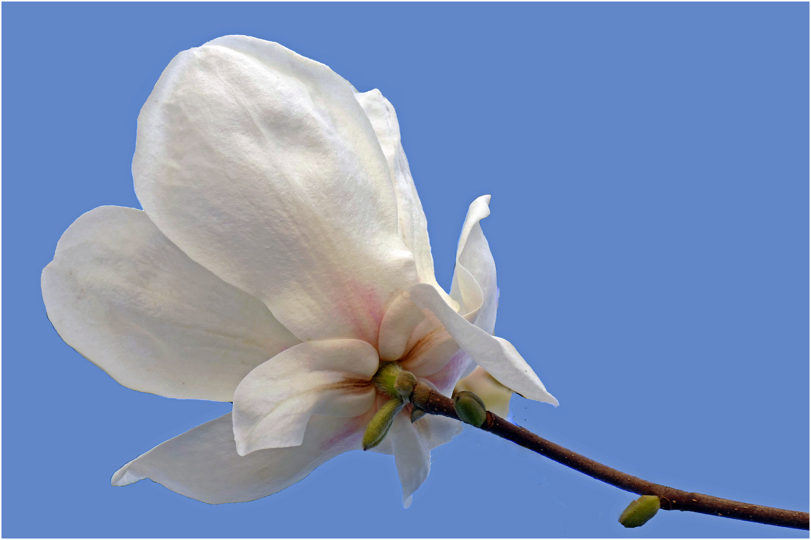 fleur de magnoglia caduque....