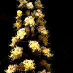 fleur de marronnier ........