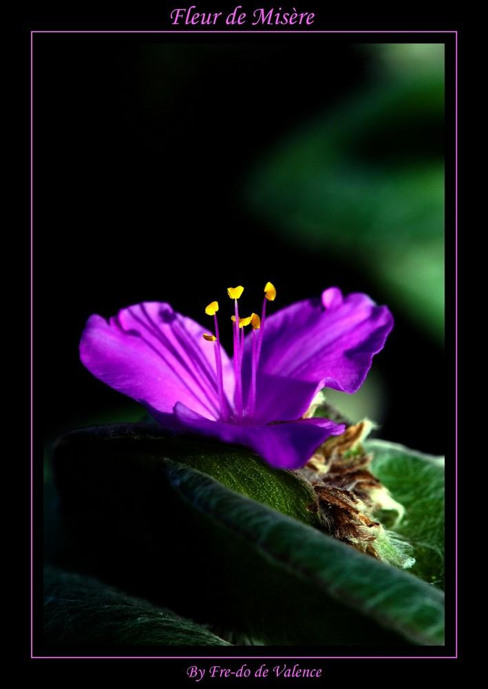 Fleur de Misère