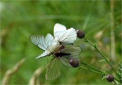 *fleur de papillons*