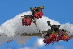 Fleur de Parrotia persica (2)