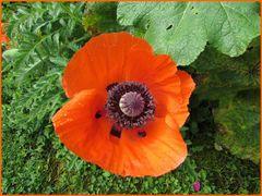 ..Fleur de Pavot..