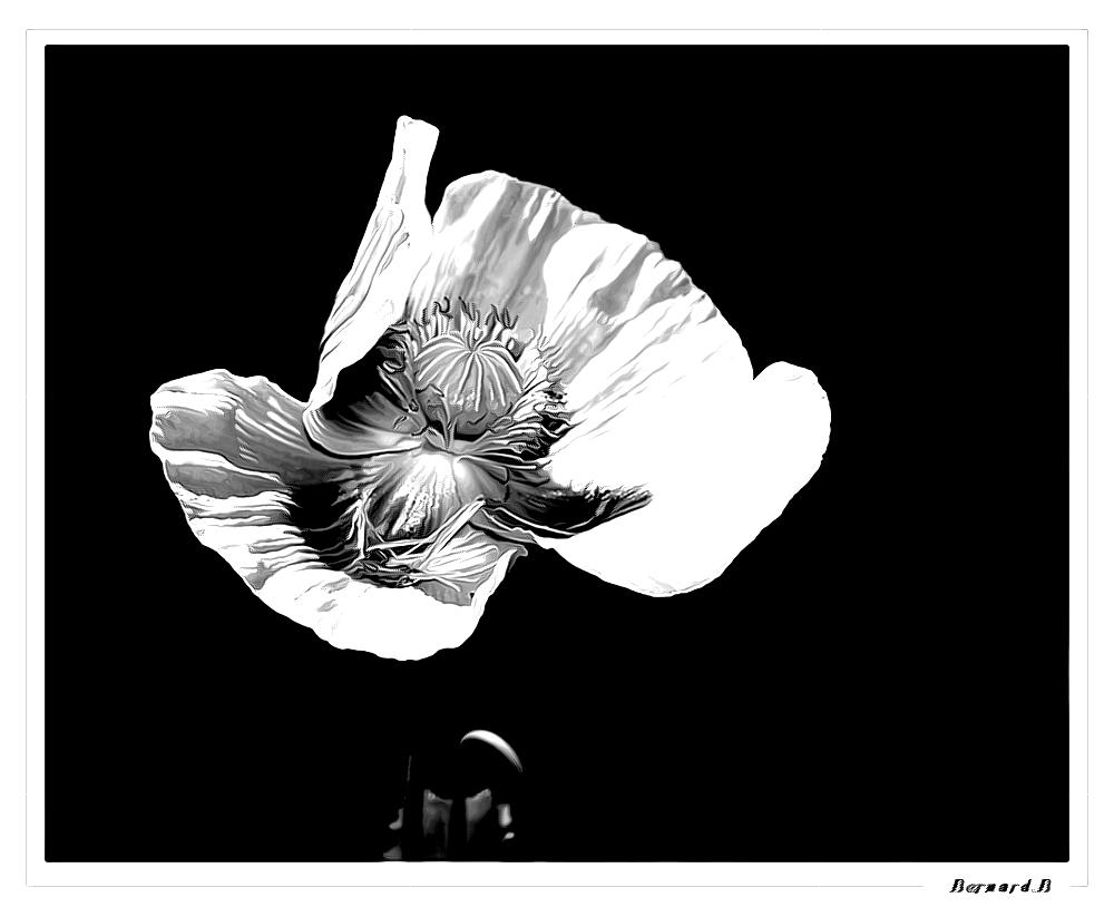 fleur de pavot photo et image special exercices photo. Black Bedroom Furniture Sets. Home Design Ideas