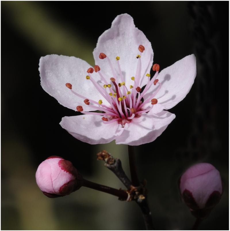 Fleur de pécher (3)